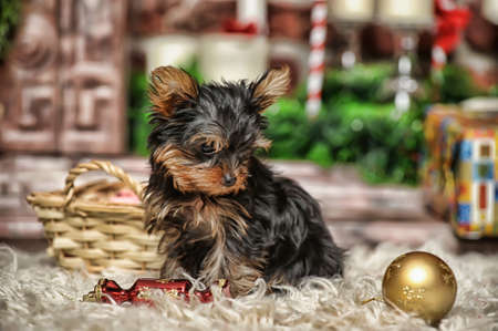 York puppy Stock Photo - 17387497