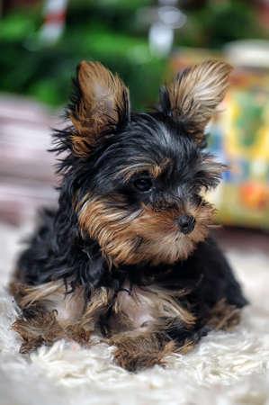 yorke: York puppy