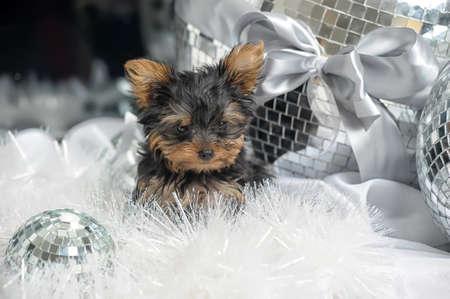York puppy photo