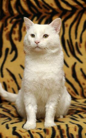 White fat cat Stock Photo - 17309749
