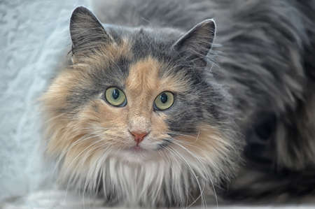 red with gray fluffy cat Stock Photo - 17933712