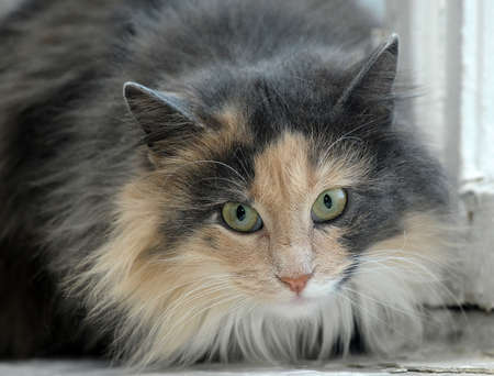 greeneyes: red with gray fluffy cat