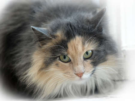 furskin: red with gray fluffy cat