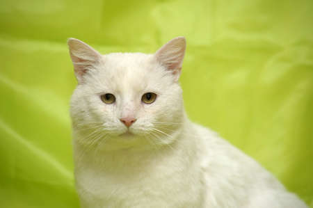 paw smart: large white cat