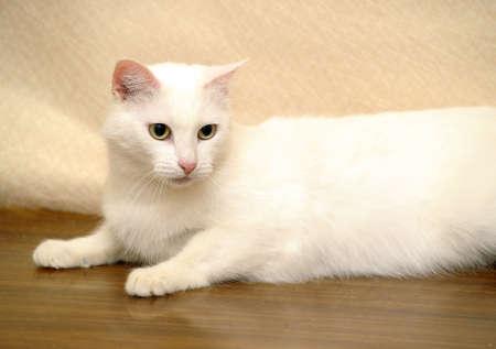 white cat Stock Photo - 17457607