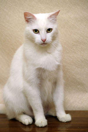 white cat Stock Photo - 17457613