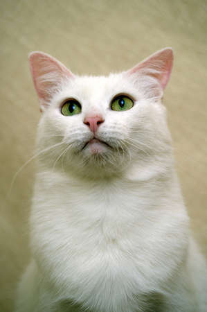 white cat Stock Photo - 17457611