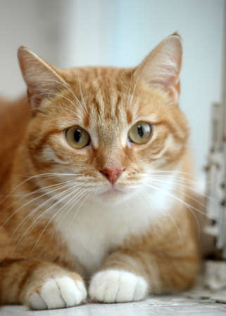 redhead cat with white breast Stock Photo - 17458566