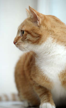 redhead cat with white breast Stock Photo - 17458567
