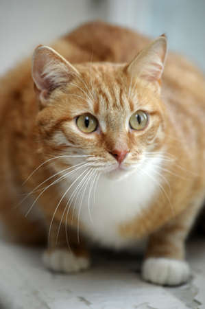 redhead cat with white breast Stock Photo - 17458578