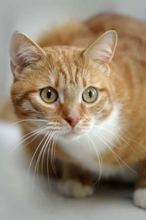 redhead cat with white breast photo