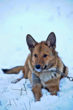 red dog on the snow photo