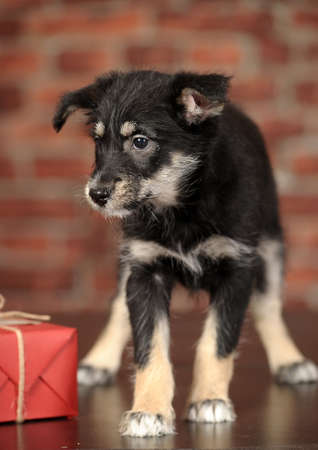 beagle mix: Half-breed terrier puppy Stock Photo
