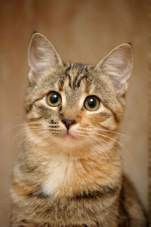 Domestic cat Banque d'images