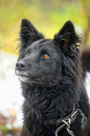 black half-breed dog  photo