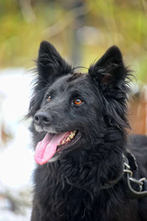 black half-breed dog  Stock Photo - 17510524