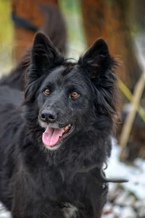 black half-breed dog in winter photo