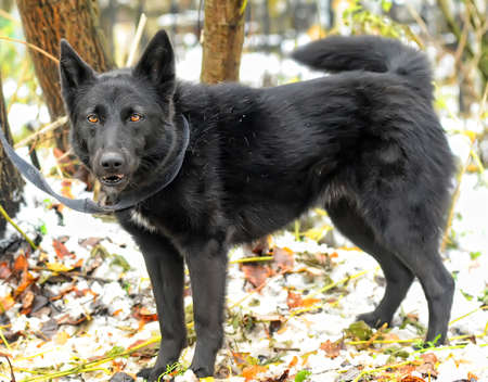 black half-breed dog in winter Stock Photo - 17510507