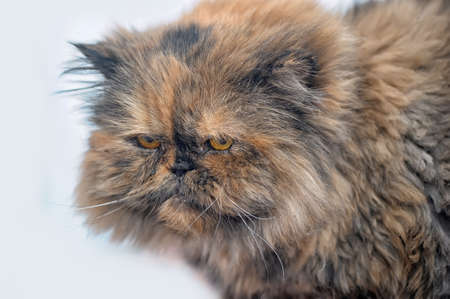 red with a black Persian cat photo