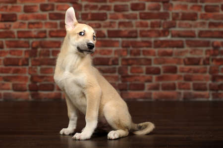 cute beige puppy Stock Photo - 17784096
