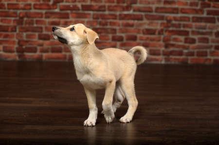 cute beige puppy photo