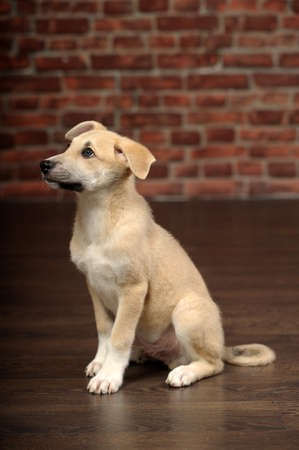 cute beige puppy