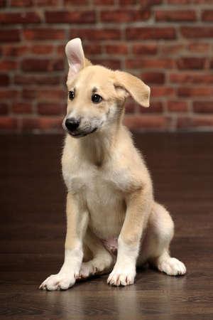 cute beige puppy Stock Photo - 17784089