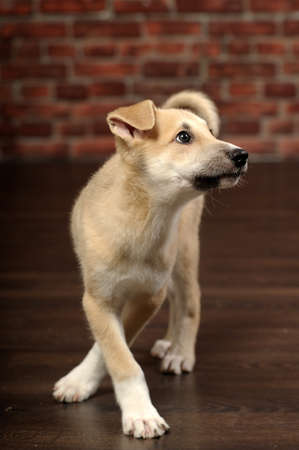 cute beige puppy photo