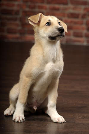 mignon chiot beige photo