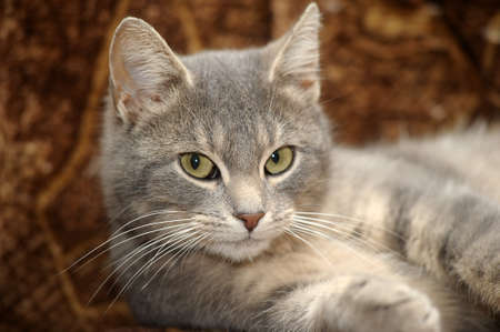 beautiful gray cat Stock Photo - 17933745