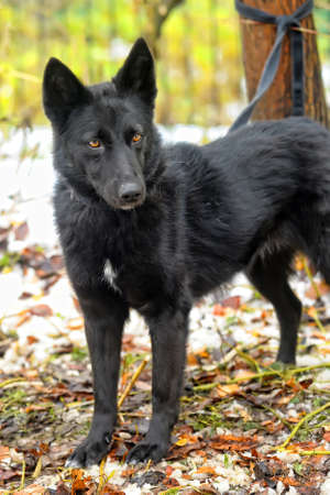 black mongrel dog Stock Photo