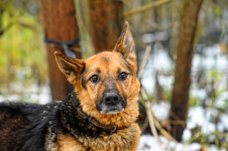 Portrait of german shepherd Stock Photo - 17936049