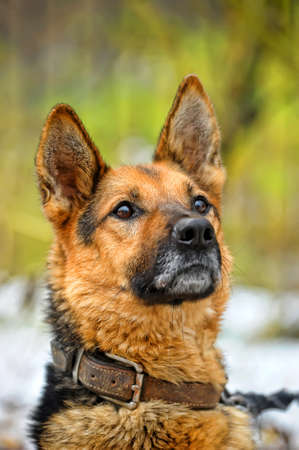 Portrait of german shepherd Stock Photo - 17936051