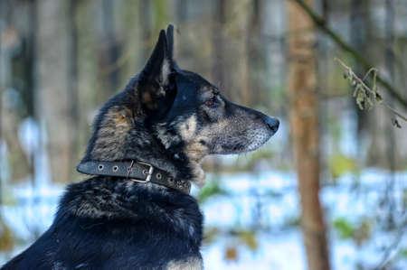 dogie: Portrait of german shepherd
