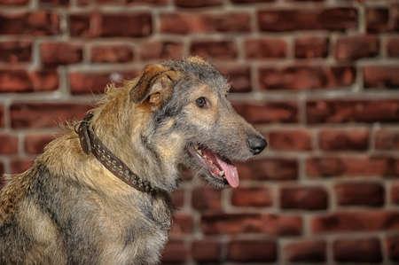 mongrel dog Stock Photo - 18593593