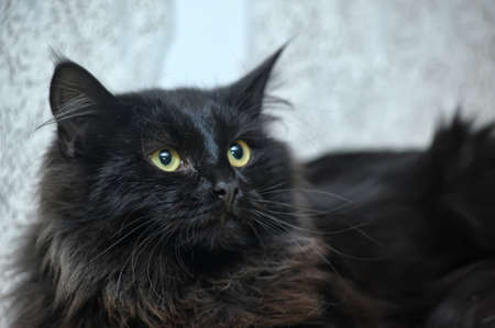 moggi: Black fluffy cat Stock Photo