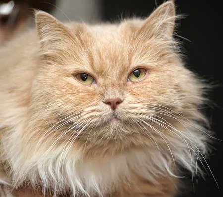 Peach  fluffy cat