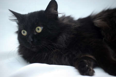 moggi: Black fluffy cat Stock Photo