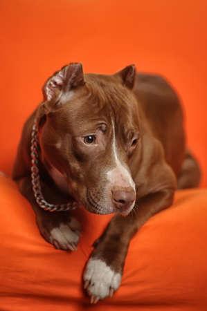 Studio dog Stock Photo - 17960199