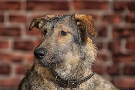 Brown Mixed-Breed Dog Stock Photo - 17865098