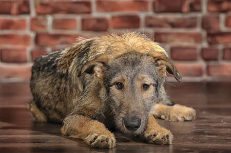 sad dog lying on the floor Stock Photo - 17928781