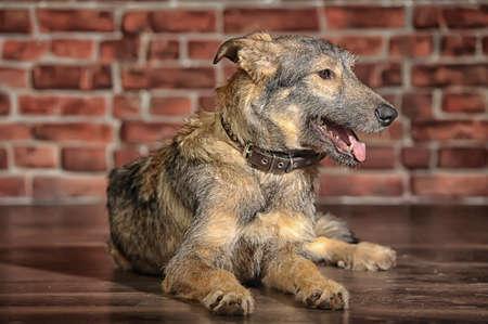 moggi: Brown Mixed-Breed Dog