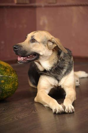 mongrel half-breed dog photo