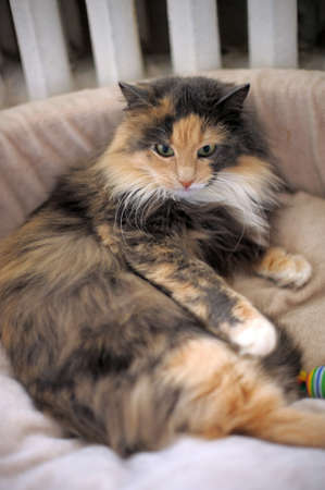 tricolor fluffy cat photo