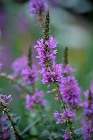 purple garden flowers Stock Photo - 18003089