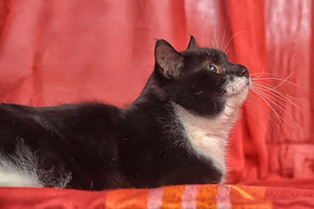 a large black cat with a white chest photo