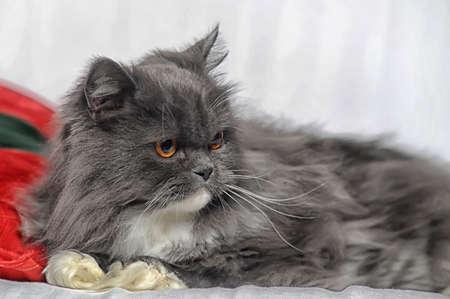 gray and white Persian cat photo