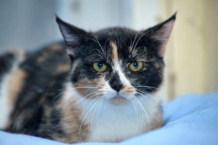 trichromatic: tricolor cat Stock Photo