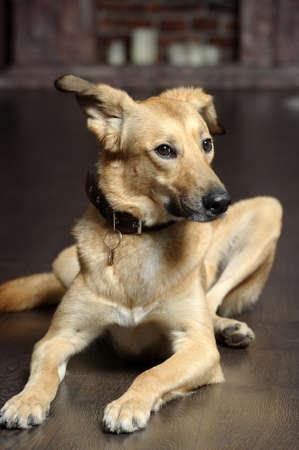 red mongrel dog photo