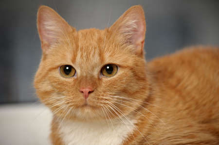 ginger cat with white breast Stock Photo - 17865164